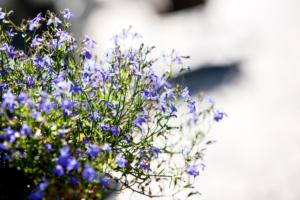 bloeiende bloemen en planten in een landelijke tuin welke zorgen voor sfeer in een bloemenzee van bloemrijke borders, manden en potten
