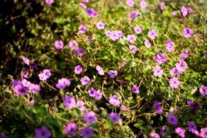 bloeiende bloemen en planten in een landelijke tuin welke zorgen voor sfeer in een bloemenzee van bloemrijke borders