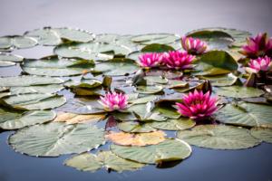 waterlelies in een vijver welke natuurlijke waterpartijen biedt in een tuinontwerp tevens ook geschikt in kleine tuinen voor een verassend exclusief gevoel in een stadstuin