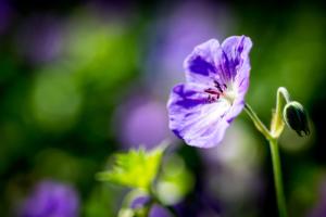 kleurrijke bloemen in een bloemrijke border in een kleine tuin geven sfeer en karakter voor een landelijke tuin voorzien van een zithoek in Ijsselstein en Oudewater. Tevens geschikt voor kleine stadstuinen of voor bedrijven en instellingen