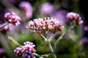 bloeiende planten en struiken in een onderhoudsvriendelijke tuin met een landelijke karakter. Bloemrijke borders zorgen voor geuren en kleuren in een exclusieve tuin welke passend is en vrijstaande landelijk gelegen woningen in Linschoten, Benschop, Haastrecht en Bodegraven