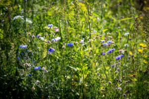 Bloeiende bloemen en planten in een landelijke tuin te Ijsselstein en Linschoten wat tevens een onderhoudsvriendelijke tuin is